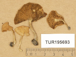 (Inocybe dulcamara - TUR195693)  @11 [ ] Copyright (2014) Diana Weckman Botanical Museum, Finnish Museum of Natural History, University of Helsinki