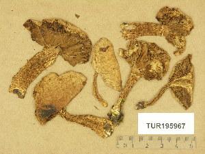 (Inocybe terrigena - TUR195967)  @11 [ ] Copyright (2014) Diana Weckman Botanical Museum, Finnish Museum of Natural History, University of Helsinki