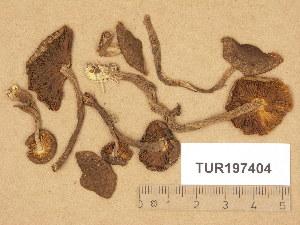 (Inocybe relicina - TUR197404)  @11 [ ] Copyright (2014) Diana Weckman Botanical Museum, Finnish Museum of Natural History, University of Helsinki