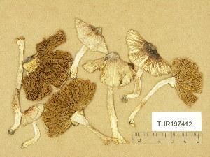 (Inocybe perlata - TUR197412)  @11 [ ] Copyright (2014) Diana Weckman Botanical Museum, Finnish Museum of Natural History, University of Helsinki