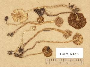 (Inocybe piscidora - TUR197415)  @11 [ ] Copyright (2014) Diana Weckman Botanical Museum, Finnish Museum of Natural History, University of Helsinki