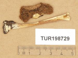 (Inocybe lullegrammata - TUR198729)  @11 [ ] Copyright (2014) Diana Weckman Botanical Museum, Finnish Museum of Natural History, University of Helsinki