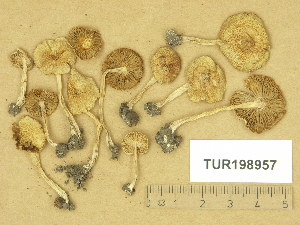 (Inocybe hirtella var. bispora - TUR198957)  @11 [ ] Copyright (2014) Diana Weckman Botanical Museum, Finnish Museum of Natural History, University of Helsinki