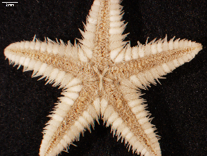 (Astropecten cingulatus - BMNH 1890.5.7.304-5B)  @11 [ ] by-nc-sa (2017) Unspecified Fish and Wildlife Research Institute