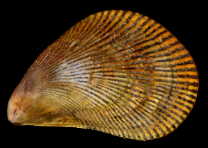 (Ischadium - FBAR-0257)  @11 [ ] by-nc-sa (2017) Unspecified Fish and Wildlife Research Institute