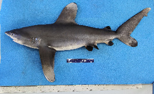 (Carcharhinus longimanus - FWRI 02808)  @11 [ ] by-nc-sa (2017) Unspecified Fish and Wildlife Research Institute