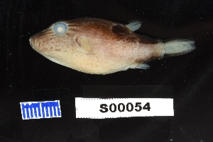 (Canthigaster supramacula - FWRI 03107)  @11 [ ] by-nc-sa (2017) Unspecified Fish and Wildlife Research Institute
