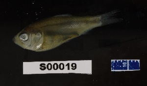 (Brevoortia smithi - FWRI 03389)  @11 [ ] by-nc-sa (2017) Unspecified Fish and Wildlife Research Institute