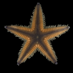 (Astropecten articulatus - FSBCI131039)  @11 [ ] by-nc-sa (2017) Unspecified Fish and Wildlife Research Institute