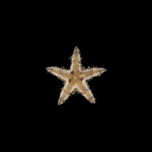 (Astropecten duplicatus - SMPA-0080)  @11 [ ] by-nc-sa (2017) Unspecified Fish and Wildlife Research Institute