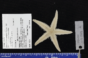 (Astropecten alligator - USNM 1171049B)  @11 [ ] by-nc-sa (2017) Unspecified Fish and Wildlife Research Institute
