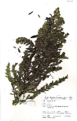 (Rafnia angulata - JWB510)  @11 [ ] No Rights Reserved  Olivier Maurin University of Johannesburg