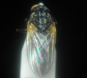 (Opsodexiinae - CBF-Calliph-000155)  @11 [ ] Copyright (2011) CBF Colección Boliviana de Fauna