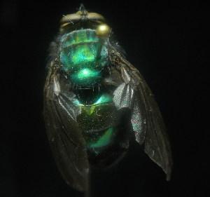 (Blepharicnema - CBF-Calliph-000160)  @13 [ ] Copyright (2011) CBF Colección Boliviana de Fauna