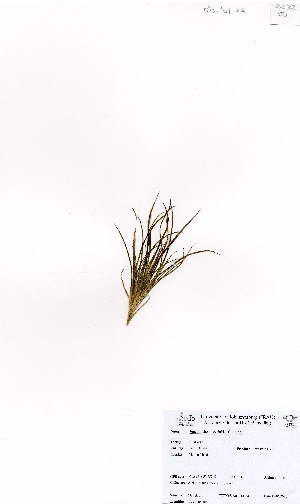 (Juncus scheuchzerioides - MarIsl23)  @11 [ ] No Rights Reserved  Unspecified Unspecified
