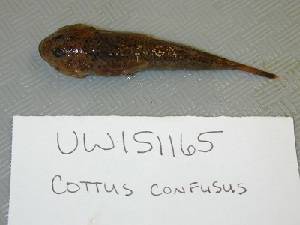 (Cottus confusus - UW151165)  @12 [ ] Unspecified (default): All Rights Reserved  Unspecified Unspecified