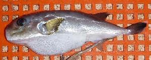 (Lagocephalus cheesemanii - BW-A12024)  @13 [ ] Copyright (2011) Cassandra Rigby James Cook University