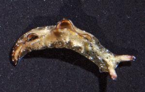 (Elysia subornata - BFLA-150)  @12 [ ] Copyright (2008) Unspecified Florida Musuem of Natural History