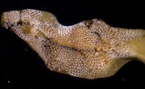 (Membranipora tuberculata - BFLA-272)  @11 [ ] Copyright (2008) Gustav Paulay Florida Musuem of Natural History
