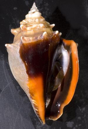 ( - BFLA-292)  @14 [ ] Copyright (2008) Gustav Paulay Florida Musuem of Natural History