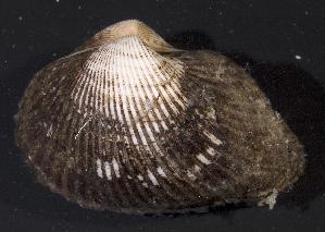 (Noetiidae - BFLA-314)  @12 [ ] Copyright (2008) Gustav Paulay Florida Musuem of Natural History