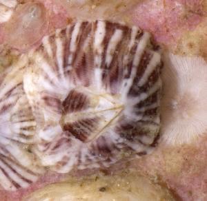 ( - BFLA-316)  @13 [ ] Copyright (2008) Gustav Paulay Florida Musuem of Natural History