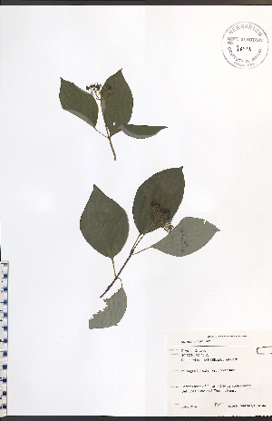 (Cornus rugosa - JRM144)  @11 [ ] No Rights Reserved  Unspecified Biodiversity Institute of Ontario