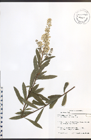 (Spiraea alba - JRM185)  @11 [ ] No Rights Reserved  Unspecified Biodiversity Institute of Ontario