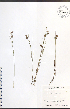 (Juncus nodosus - JRM265)  @11 [ ] No Rights Reserved  Unspecified Biodiversity Institute of Ontario