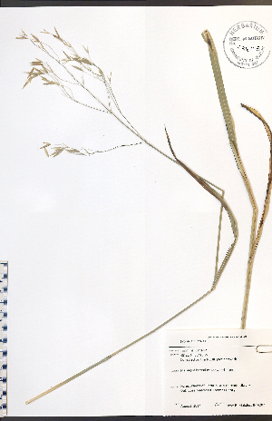 (Bromus ciliatus - JRM287)  @11 [ ] No Rights Reserved  Unspecified Biodiversity Institute of Ontario