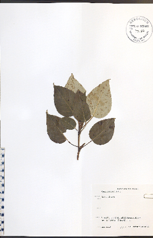 (Populus balsamifera - NTW1072)  @11 [ ] No Rights Reserved  Unspecified Biodiversity Institute of Ontario