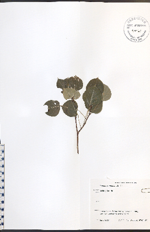 (Populus tremuloides - NTW1109)  @11 [ ] No Rights Reserved  Unspecified Biodiversity Institute of Ontario