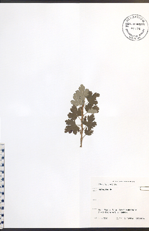 (Ribes - NTW1154)  @11 [ ] No Rights Reserved  Unspecified Biodiversity Institute of Ontario