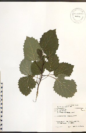 (Populus grandidentata - NTW941)  @11 [ ] No Rights Reserved  Unspecified Biodiversity Institute of Ontario