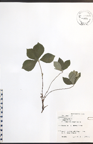 (Cornus canadensis - NTW975)  @11 [ ] No Rights Reserved  Unspecified Biodiversity Institute of Ontario
