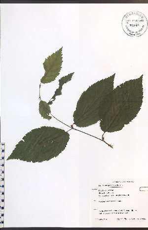 (Betulaceae - TAH195)  @11 [ ] No Rights Reserved  Unspecified Biodiversity Institute of Ontario