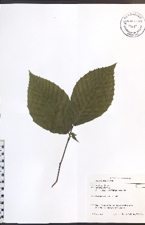 (Fagus grandifolia - TAH226)  @11 [ ] No Rights Reserved  Unspecified Biodiversity Institute of Ontario