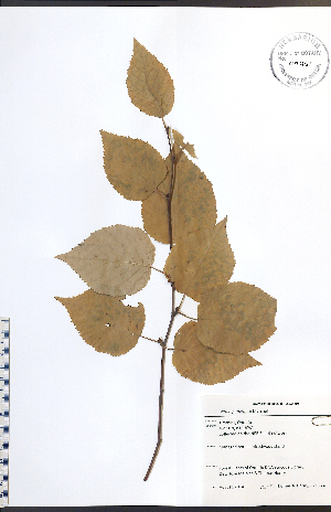 (Betula papyrifera - TAH274)  @11 [ ] No Rights Reserved  Unspecified Biodiversity Institute of Ontario