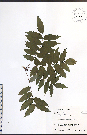 (Sorbus decora - TAH307)  @11 [ ] No Rights Reserved  Unspecified Biodiversity Institute of Ontario