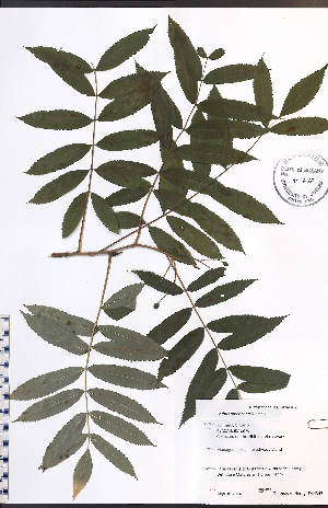(Sorbus americana - TAH343)  @11 [ ] No Rights Reserved  Unspecified Biodiversity Institute of Ontario