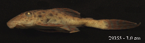 (Hypostomus affinis - LBPV-29355)  @13 [ ] Unspecified (default): All Rights Reserved  Unspecified Unspecified