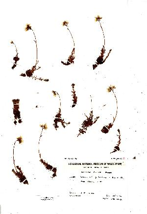 (Saxifraga rosacea - NMW4587)  @11 [ ] CreativeCommons - Attribution (2012) National Museum Wales National Museum Wales