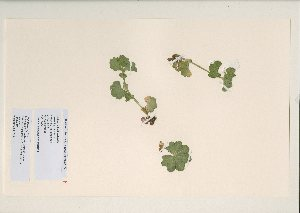 (Alchemilla cairnwellensis - NMW6714)  @11 [ ] CreativeCommons - Attribution (2012) National Museum Wales National Museum Wales