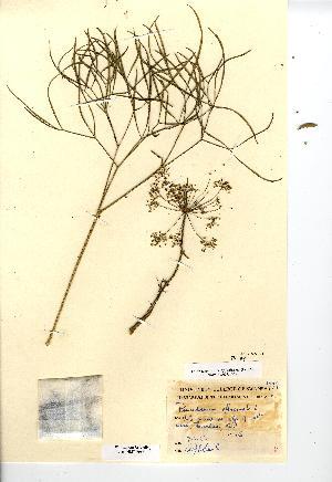 (Peucedanum - NMW7083)  @11 [ ] CreativeCommons - Attribution (2012) National Museum Wales National Museum Wales