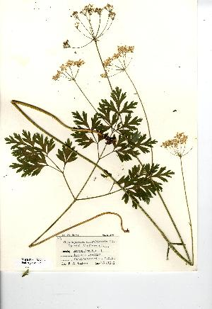 (Physospermum - NMW7092)  @11 [ ] CreativeCommons - Attribution (2012) National Museum Wales National Museum Wales