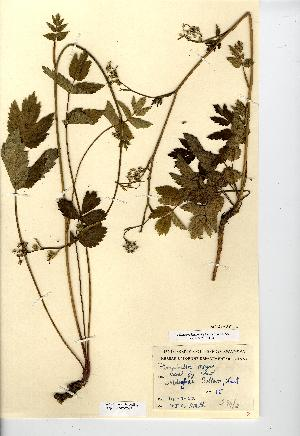 (Pimpinella - NMW7097)  @11 [ ] CreativeCommons - Attribution (2012) National Museum Wales National Museum Wales