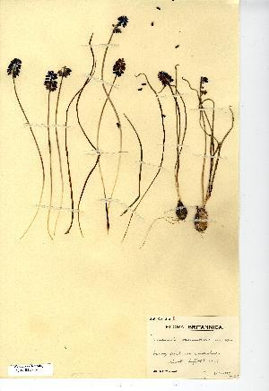 (Muscari neglectum - NMW7132)  @11 [ ] CreativeCommons - Attribution (2012) National Museum Wales National Museum Wales