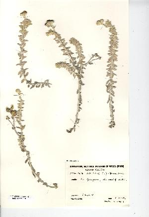 (Achillea maritima - NMW7220)  @11 [ ] CreativeCommons - Attribution (2012) National Museum Wales National Museum Wales