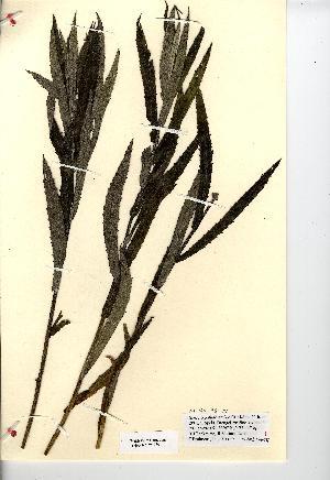 (Senecio paludosus - NMW7280)  @11 [ ] CreativeCommons - Attribution (2012) National Museum Wales National Museum Wales