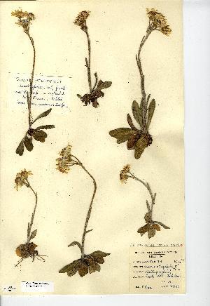 (Tephroseris - NMW7290)  @11 [ ] CreativeCommons - Attribution (2012) National Museum Wales National Museum Wales